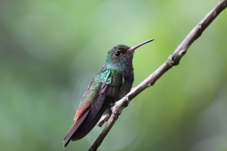 Een kolibrie in de tuin