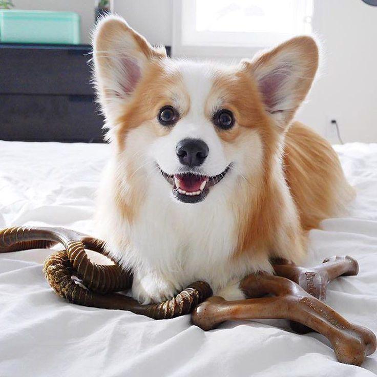 Chihuahua Betten: Die Besten 25+ Corgi Hund Ideen Auf Pinterest