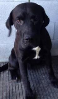 ***URGENT- 6/2/16  DOMINO IN PACKED KILL SHELTER-WV -  Black Labrador Retriever Mix • Adult • Male • House trained • Spayed/Neutered • Current on vaccinations ~ Large  For The Love Of Dogs Downingtown, PA