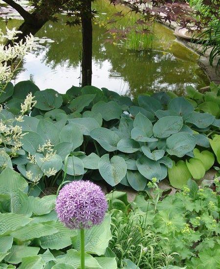 Perenna rötter - Växter Hosta kan odlas i skugga o som marktäckare