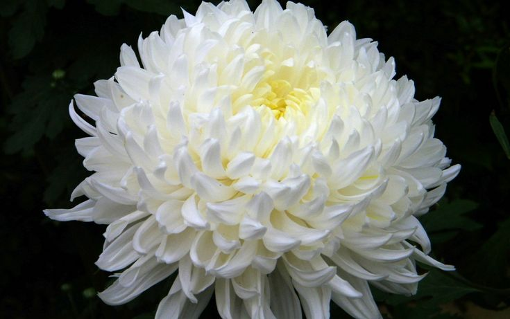 The Overviews of Chrysanthemum Variety List and Varieties Pictures