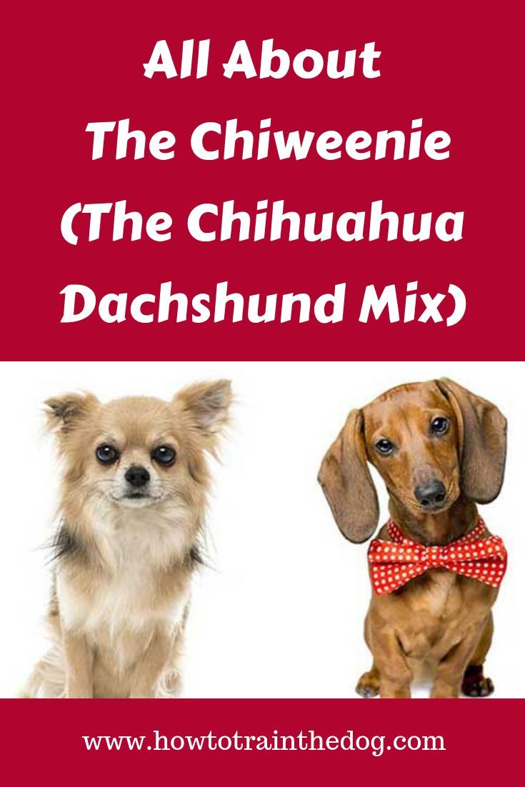 All about the chiweenie the chihuahua dachshund mix in
