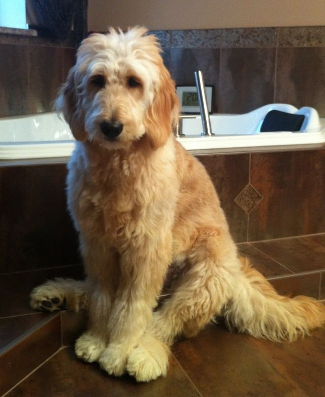 Haircuts For Goldendoodles Pictures: 25+ Best Standard Goldendoodle Ideas On Pinterest