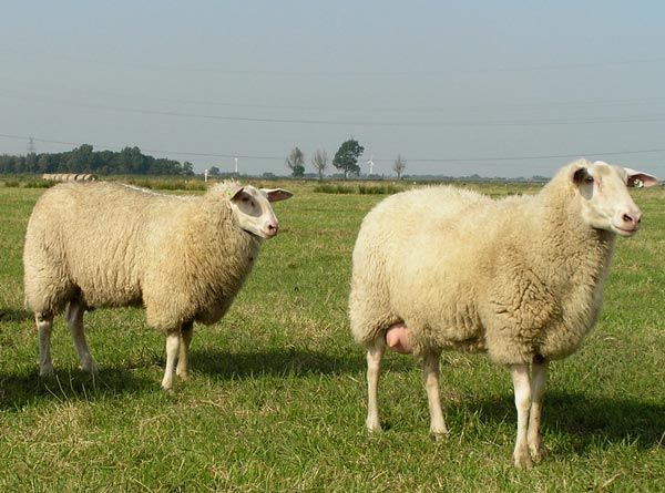 For babies allergic to cow's milk, the Frisian milk sheep is a good alternative. I was raised on sheep's milk.