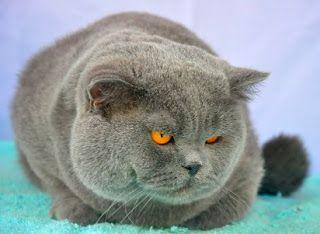 kucing british shorthair untuk dijual,jual kucing british shorthair,harga,british short hair,