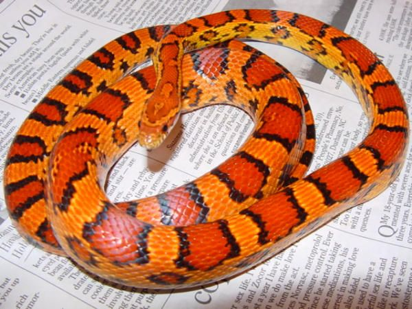 Okeetee corn snake. Was considering a black corn snake, but may need an Okeetee instead! These colors are beautiful!