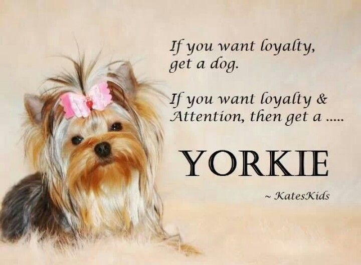 yorkie quotes 25 best ideas about teacup yorkie on pinterest yorkie 2414