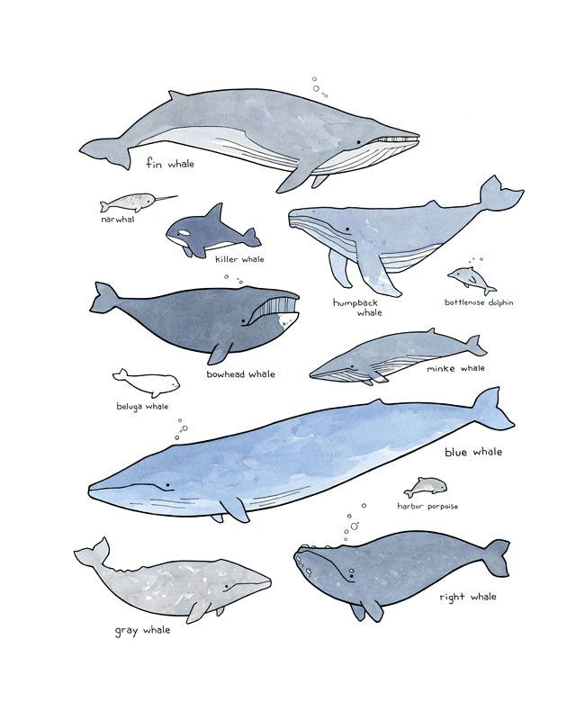 A whimsically illustrated chart of whales. High quality print Created from my ink and watercolor illustration Signed and dated in pencil Protecting in acid-free clear sleeve Choose a vertical or horiz