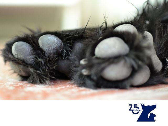 Las almohadillas de los perros. CLÍNICA VETERINARIA DEL BOSQUE.Las almohadillas de las patas de los perros son muy importantes, pues sirven para absorber el impacto del perro al caminar. Estas requieren de cuidados para que no se agrieten, ya que esto puede causarles gran dolor a nuestras mascotas e, incluso, sangrado. En Clínica Veterinaria del Bosque te asesoramos sobre el tema y atendemos a tu mascota. www.veterinariadelbosque.com #cuidadodemascotas