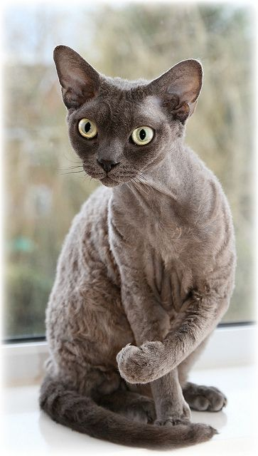 """Blue Smoke Devon Rex.  """"There is no need for a piece of sculpture in a house that has a cat."""" --George F Will"""