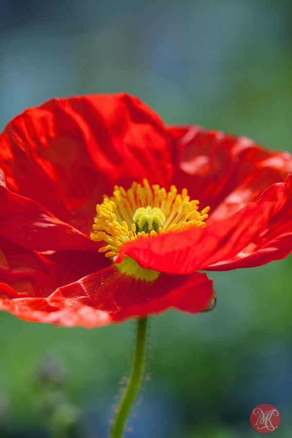 ~~Dance with me ~ red poppy ❤️ by Kasia Sokulska~~