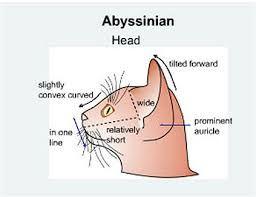 абиссинцы орасы - Поиск в Google