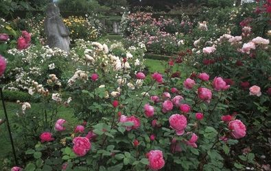 Rose Gardens - Albrighton - David Austin Roses