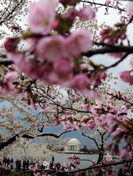 Cherry Bloosoms in DC: Cherries Blossoms, Spring Flowers, Blossoms Festivals, The Jefferson, Flowers Festivals, Spaces Flowers, Places Spaces, Festivals Places Spac, Cherry Blossoms