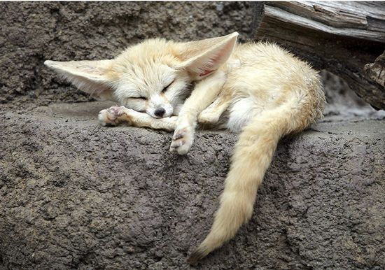 Albino Kit Fox ? Correction - my daughter told me this was a Fennec Fox - google them ~ they are SO CUTE !!!