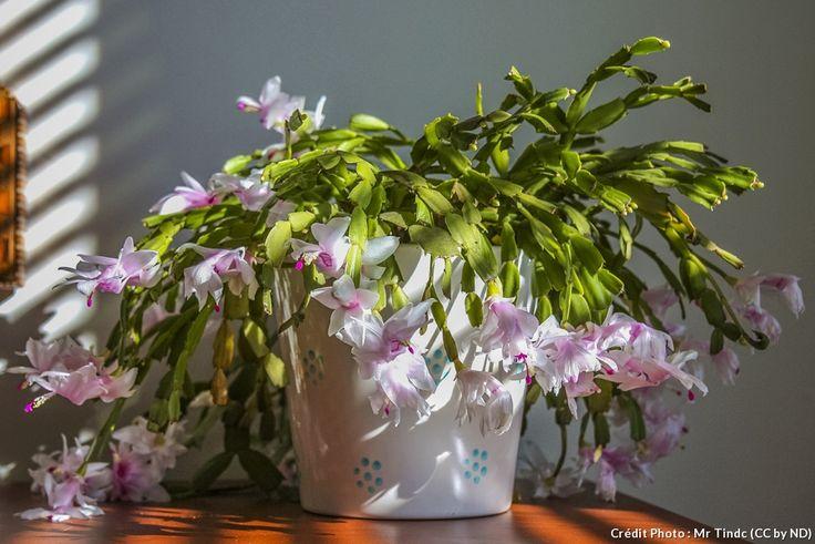Rien de plus facile que de faire refleurir le Schlumbergia, le cactus de Noël. Cette fleur d'intérieur ne demande que quelques soins pour profiter d'une longue floraison.