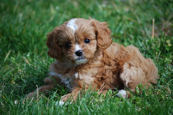 Cavapoos & Cavapoo Puppies For Sale in Tennessee | Precious Pups 4 U