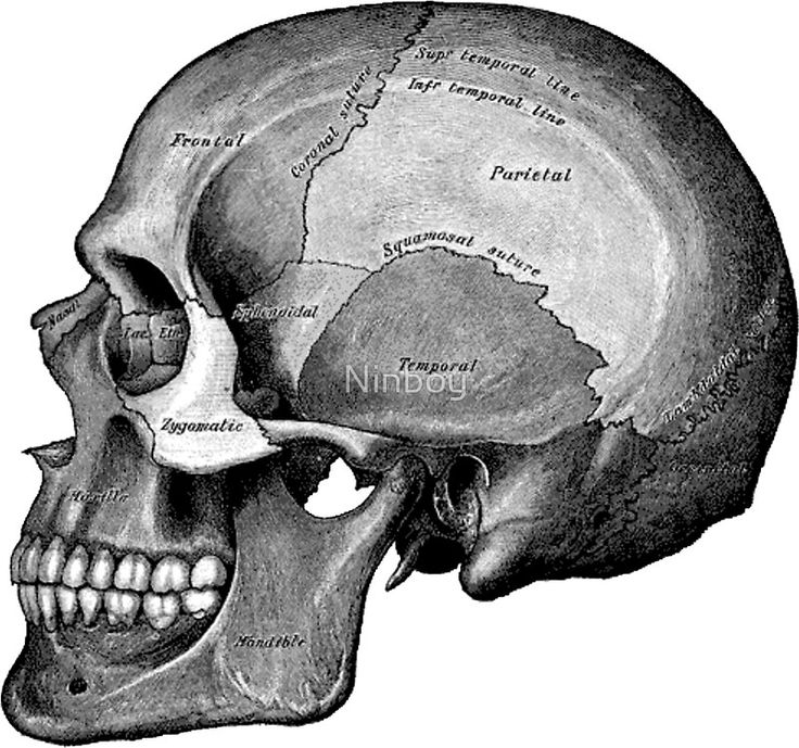 12 best images about anatomy(human) - jaw and tooth on pinterest, Skeleton