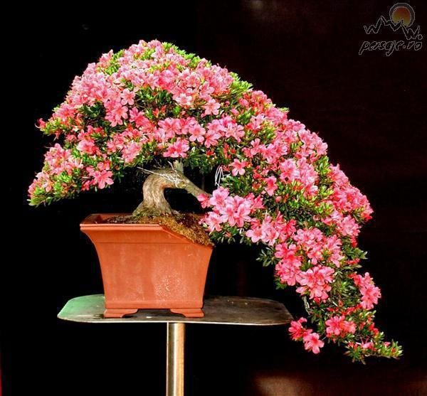 bonsai** Loving the miniature Azalea Bonsai!!