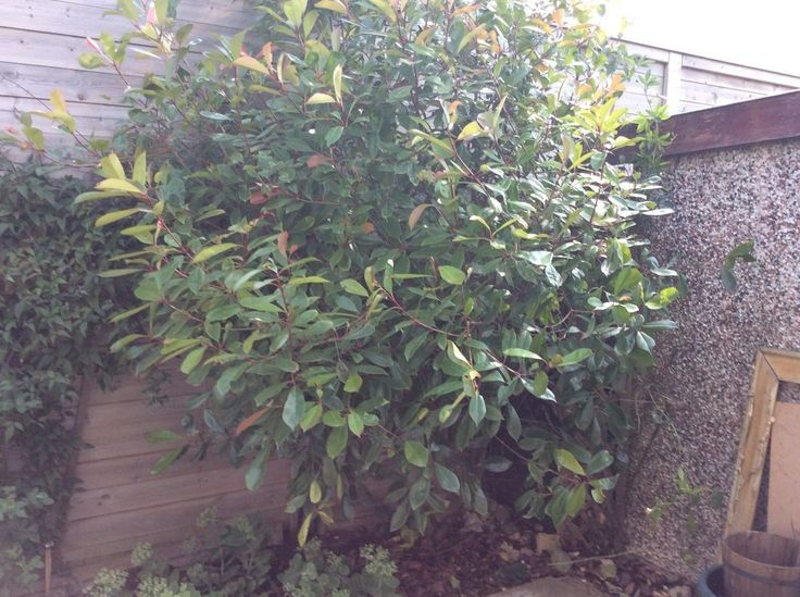 Mature Photinia Red Robin Tree Huge 10ft Tall 6ft Wide 10 Years Old Location PE1