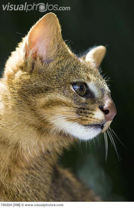 Pampas Cat (Leopardus colocolo) portrait, Cerrado Ecosystem, Brazil