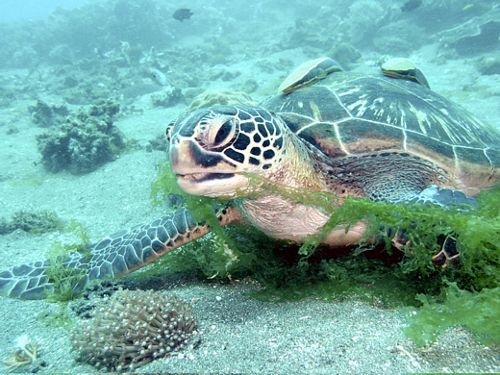 Giant Turtle im Dive Hub Antulang, Negros, Philippinen