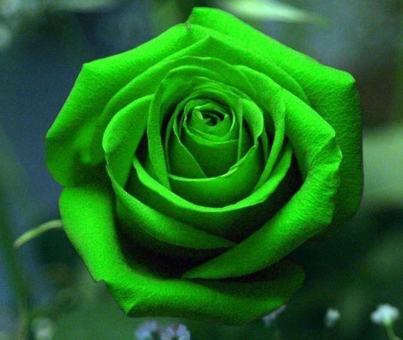 Green Rose Seeds 100pcs of Green Rose Seeds | Rudelyn's Sari Sari Store