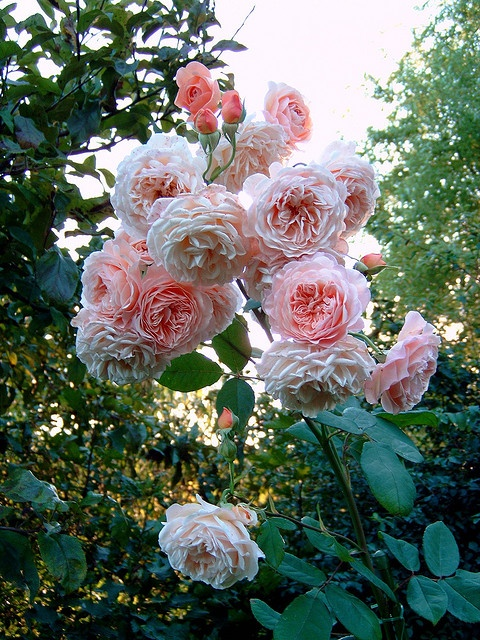 Love Garden Roses: Pin By Flaming Charsiew On Flowers And Gardens