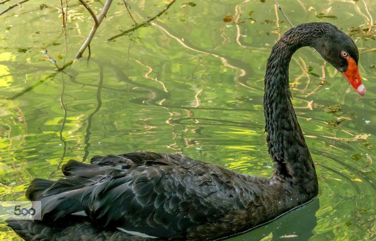 Black Swan. by Marius Ivan on 500px