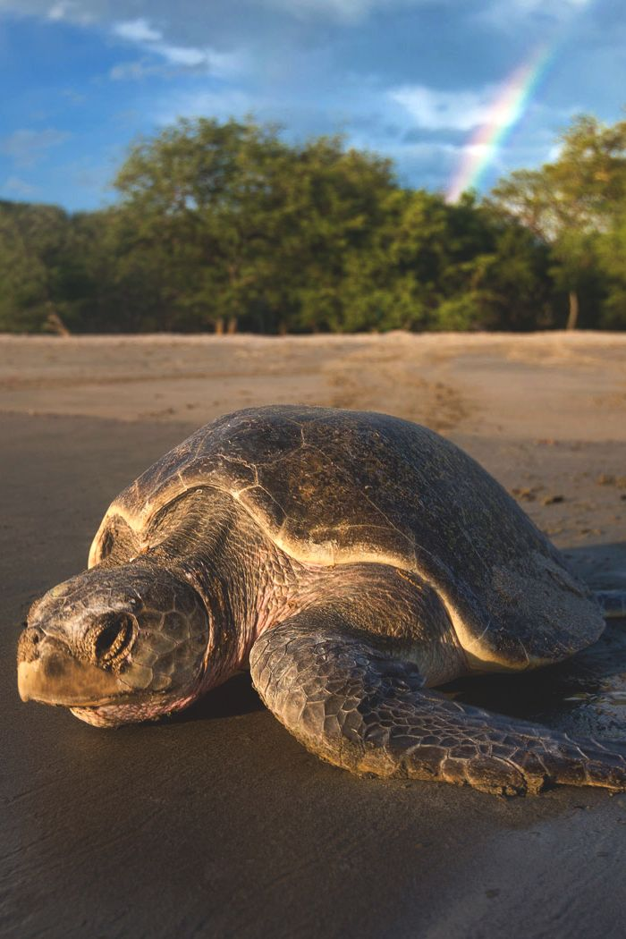 """Rainbow Turtle. """"Paslama Turtle going back to the sea after leaving its eggs in the nest. Playa La Flor. San Juan del Sur, Nicaragua"""", by Roberto Zuniga"""