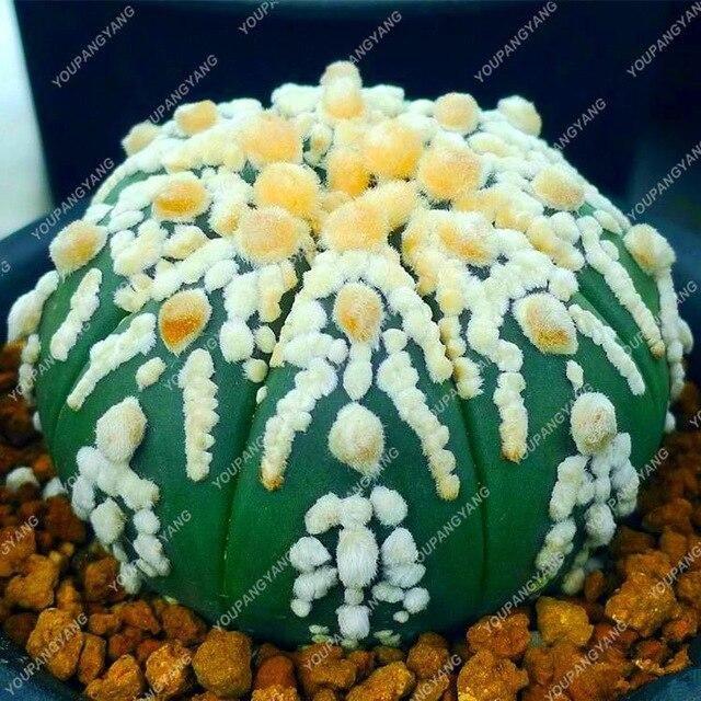 Cactus Plant Organic Garden 100pcs Rare Mix Lithops Plants