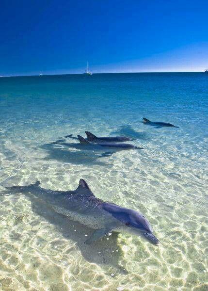 Dolphins at monkey mia austrailia