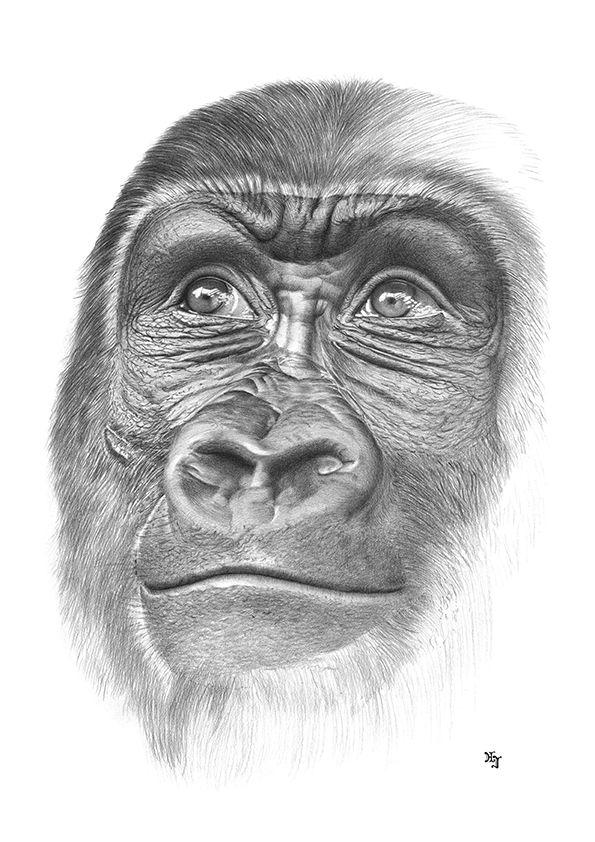 605ff1bb0d3 Bleistiftzeichnung Gorilla Gesicht 1 DIN A4 von Josef Hinterseer ...