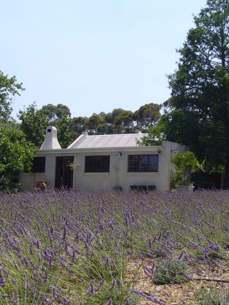 Lavendelfält. Från ett hus vi hyrde i Sydafrika.
