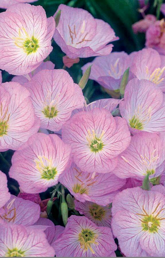 Pink Evening Primrose I have these it is amazing this is a must-have for any garden light fragrance and amazing spread in the gardens.