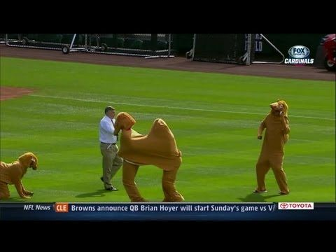 St. Louis Cardinals dress up like camels to celebrate hump day