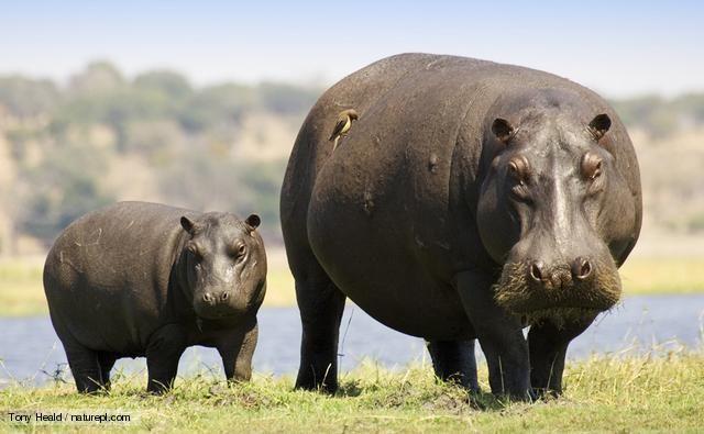 Hippopotamus | Hippopotamuses are large aquatic mammals found in Africa.