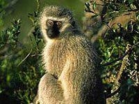 Vervet Monkey - Warthog Lodge