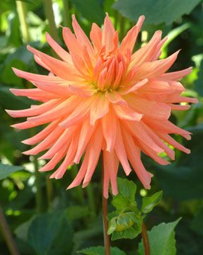 """Apricot brandy  Novelty Orange  Height - 5'  Blooms 6""""    Very stout plant with loads of blooms. Great fall colors."""