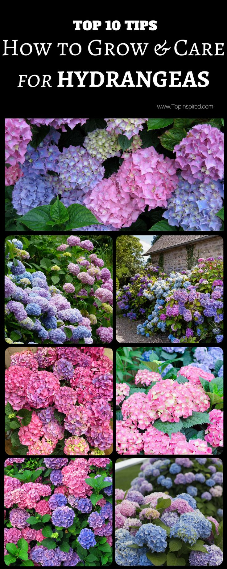 Top 10 Tips on How to Plant, Grow and Care for Hydrangeas | Garden Tips | Tips and instructions for planting and caring for hydrangeas, a popular perennial garden shrub.