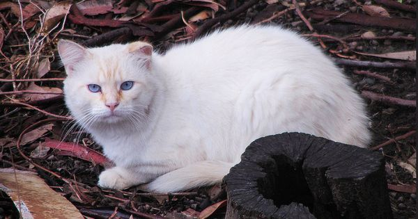 The Australian continent is now completely covered with feral cats