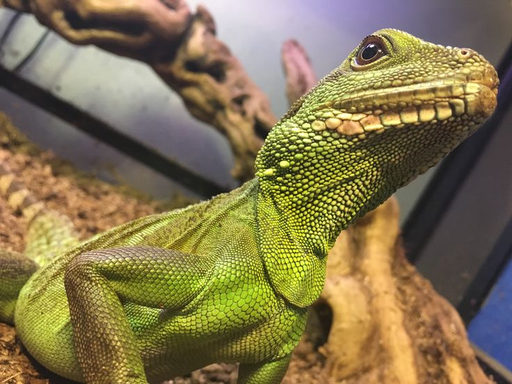 1000 Ideas About Chinese Water Dragon On Pinterest