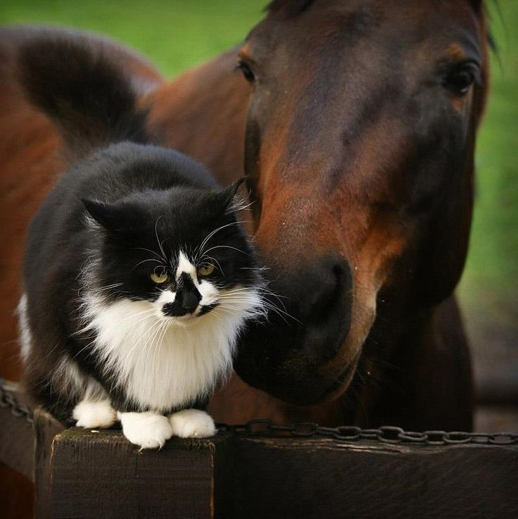 A fine charcoal-and-brown equine nudges its fluffy feline friend. What elegant creatures!