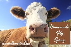 Homemade Fly Spray recipe for livestock.  Easy, quick and natural way to eliminate flies.