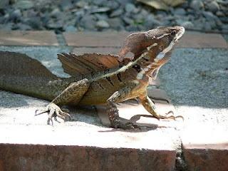 Jesus Lizard, Jesus Christ Lizard, Lagarto de Jesus Cristo - Basilisk lizard in Central, South America Rainforests.