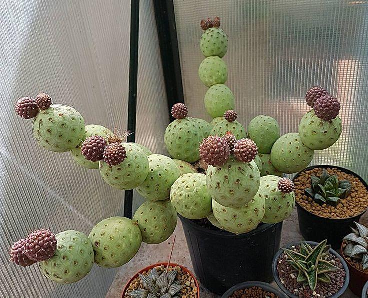 tephorocactus