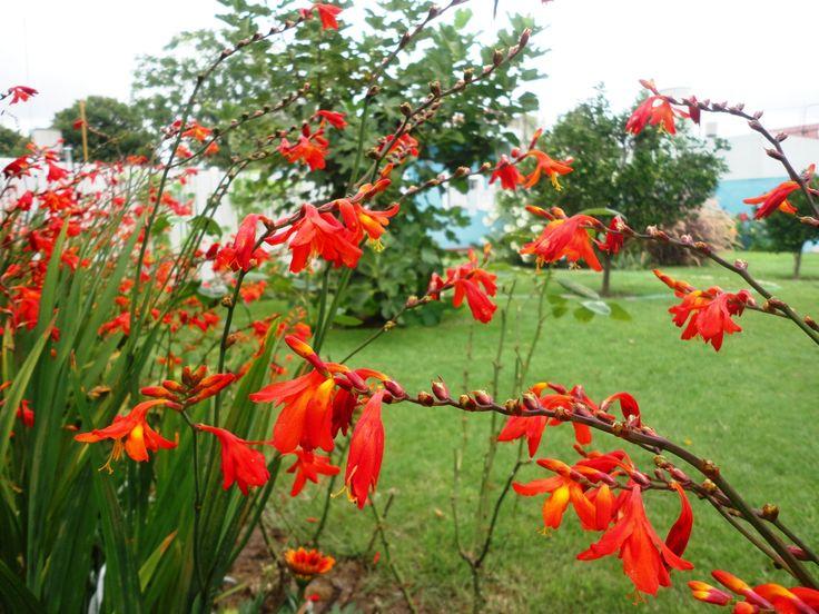 Azucena del diablo (Phycella bicolor)