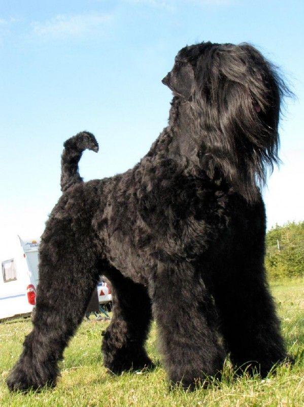 Black Russian Terrier - Русский черный терьер
