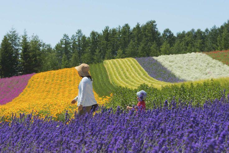 Tourists at lavender farm, Furano, Hokkaido Prefecture, Japan