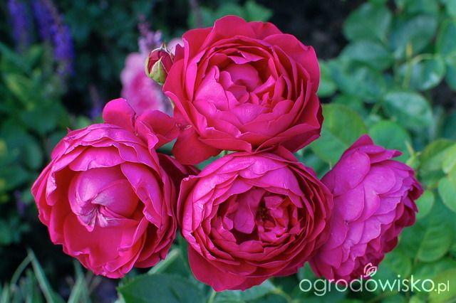 Ogród dla roślin o mocnych nerwach - strona 456 - Forum ogrodnicze - Ogrodowisko Ascot